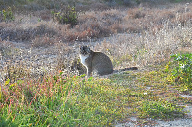 Feral Wild Cat near Foster City Levee
