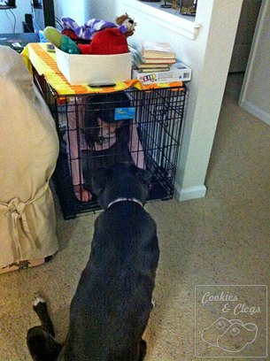 Munchkin locked in Dog Crate