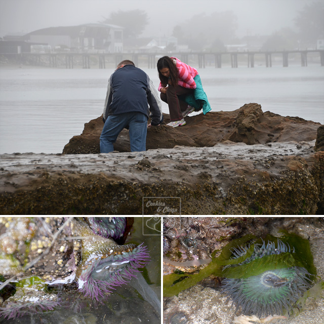 Half Moon Bay Princeton by the Sea Anemones Tide Pool