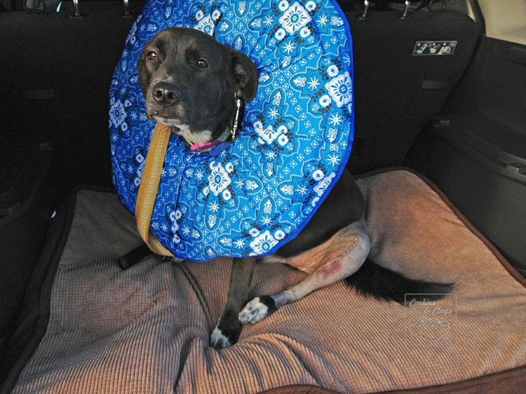 Speckles Dog Torn Cruciate Ligament (CCL) Post Surgery