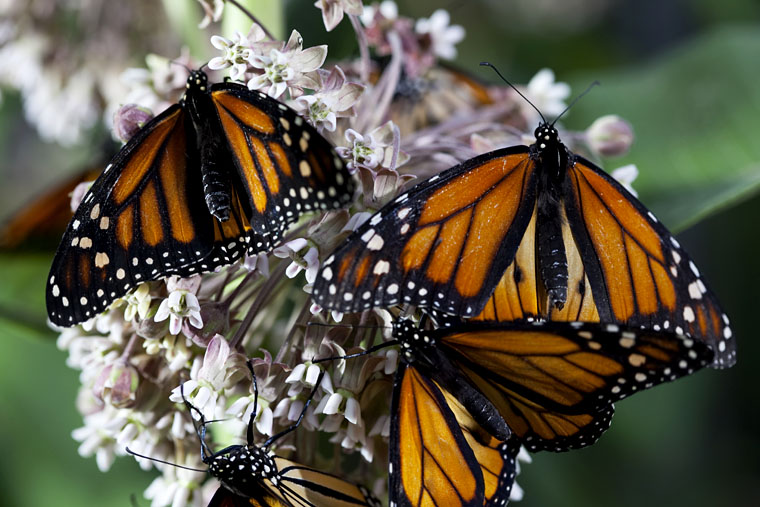 Disneynature Wings of Life monarch