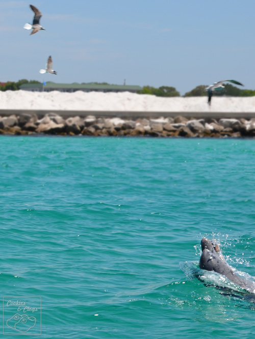 Dolphin and Seagulls Playing Tag in the waters around Destin Florida