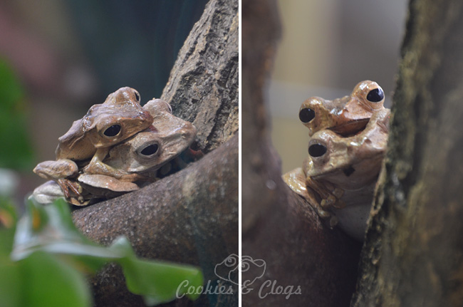 Frogs at California Academy of Sciences at Golden Gate Park in San Francisco, CA #SFBay