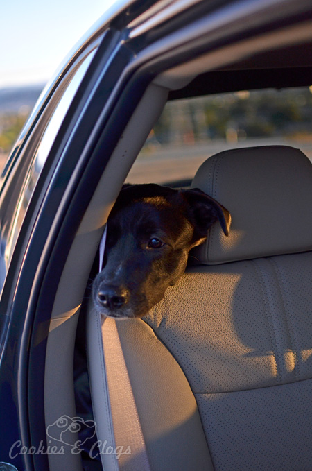 Our sweet dog, Speckles, basking in the light of the sunset in the backseat of a 2014 Kia Sorento Car