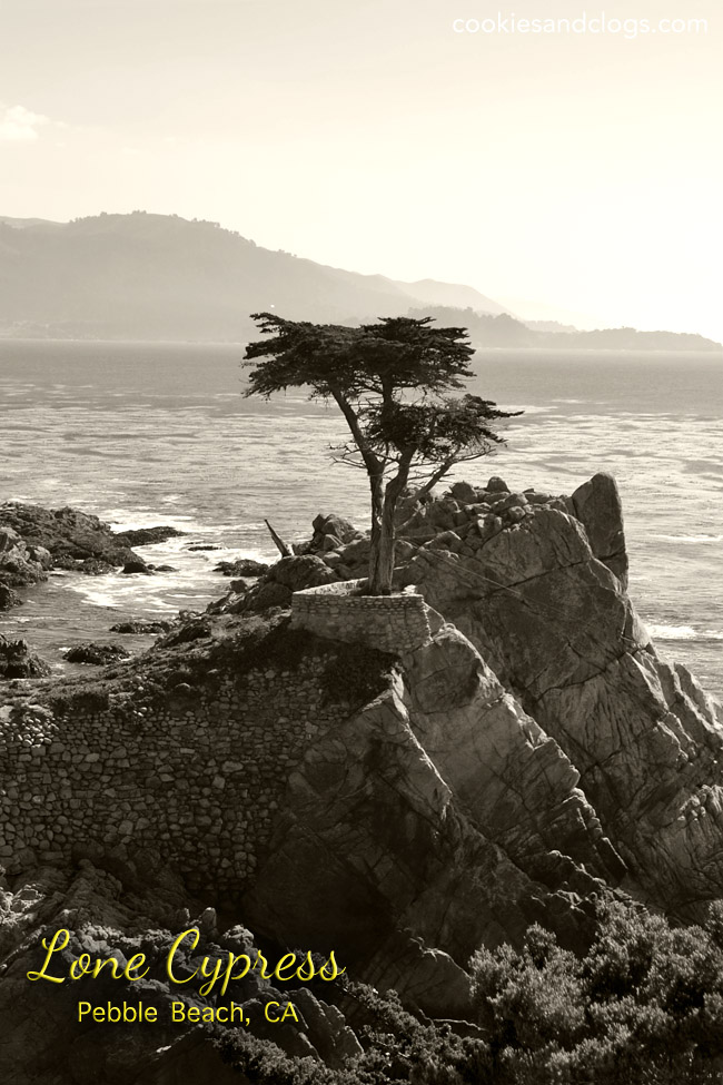 The Lone Cypress Iconic Tree in Pebble Beach, CA off 17-Mile-Drive