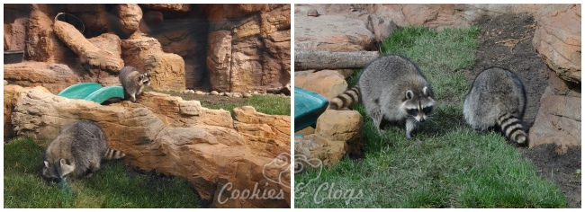 CuriOdyssey new raccoon exhibit and introduction of two new female raccoons. Also featuring 14-year-old Marlin.