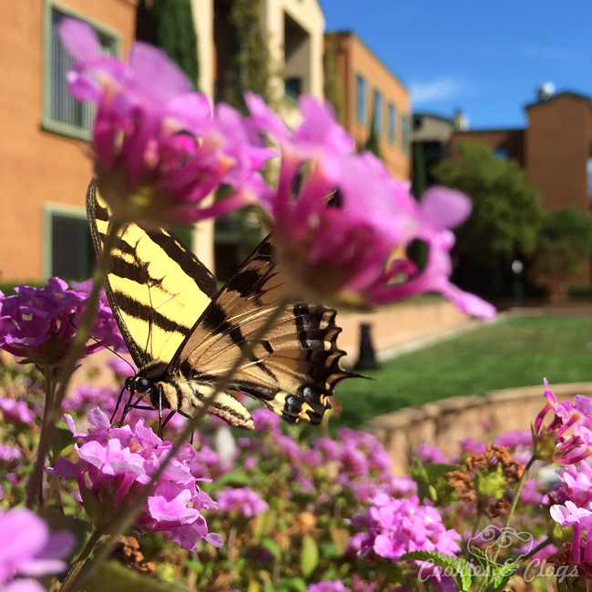 Western Tiger Swallowtail – Munchkin, New iPhones #Photography