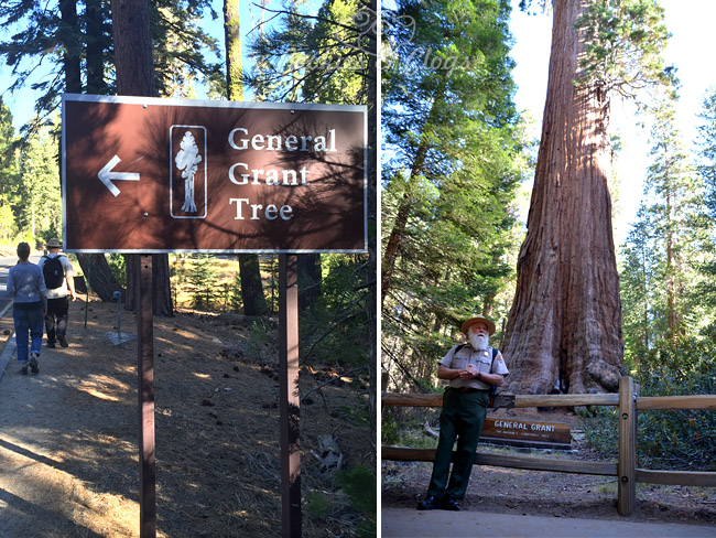 CVS Gold Emblem Abound – General Grant Tree in Kings Canyon Garden Grove #CVSAbound #Snackurday #Travel