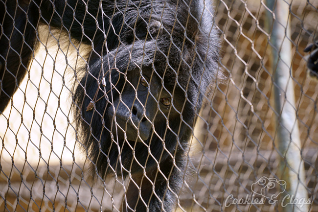 Monkey Kingdom | Nature | Animals | In honor of Disneynature Monkey Kingdom, we visited the Los Angeles Zoo to see black howler monkeys up close. Check out the video here of the hilarious singing Siamang duet!