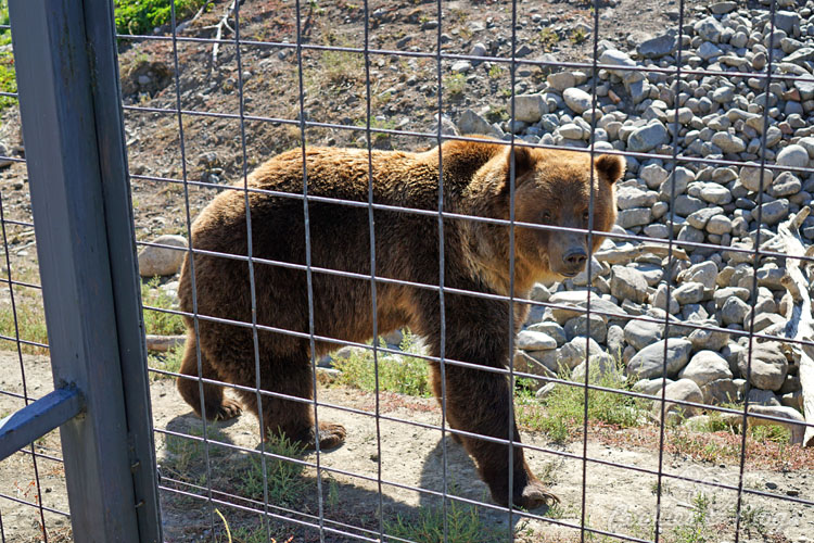Travel | Cars | To test out the new 2016 Ford Explorer Platinum, I drove from Kamloops to Banff to Calgary in Canada for the Platinum Adventure Tour. Follow #ExploreMore . Grizzly Bear at British Columbia BC Wildlife Park