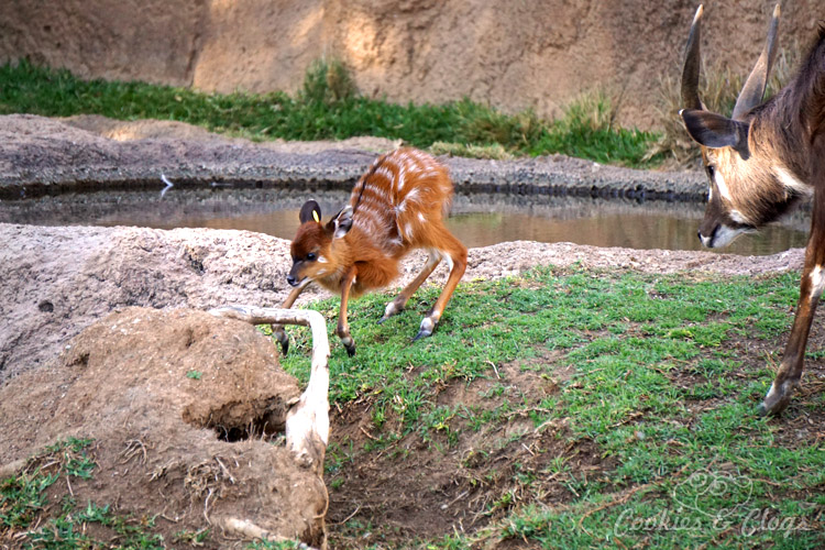 Nature Photography | Our last visit to San Diego Safari Park was amazing. We were able to capture some gorgeous and fun photos as the animals were extra active that day. The highlight was our ride on the Africa Tram tour. Baby antelope