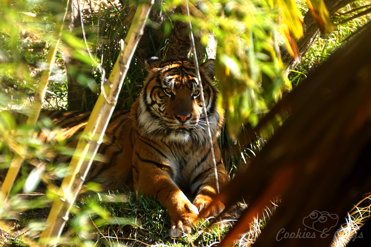 Nature Photography | Our last visit to San Diego Safari Park was amazing. We were able to capture some gorgeous and fun photos as the animals were extra active that day. The highlight was our ride on the Africa Tram tour. Sumatran tiger