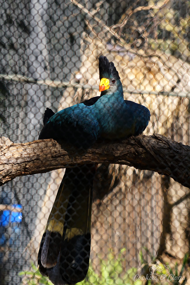 Nature Photography | Our last visit to San Diego Safari Park was amazing. We were able to capture some gorgeous and fun photos as the animals were extra active that day. The highlight was our ride on the Africa Tram tour. Great Blue Turaco