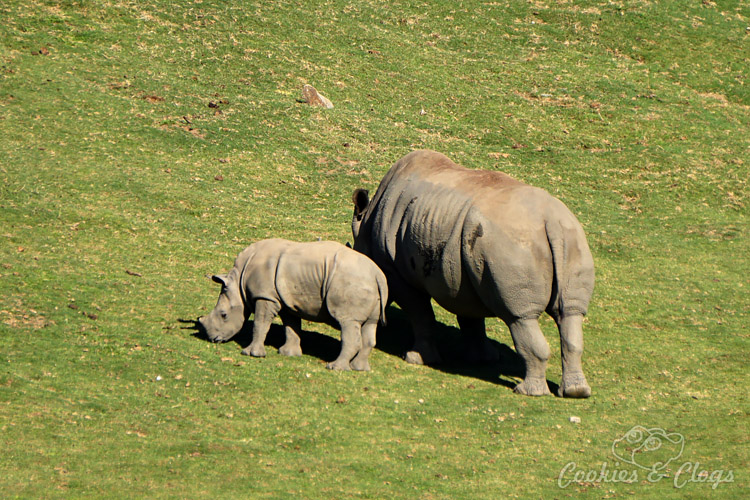 Nature Photography | Our last visit to San Diego Safari Park was amazing. We were able to capture some gorgeous and fun photos as the animals were extra active that day. The highlight was our ride on the Africa Tram tour. Greater one-horned rhino mother and baby