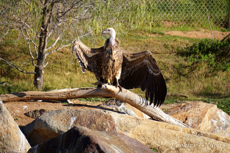 Nature Photography | Our last visit to San Diego Safari Park was amazing. We were able to capture some gorgeous and fun photos as the animals were extra active that day. The highlight was our ride on the Africa Tram tour. Ruepell's vulture