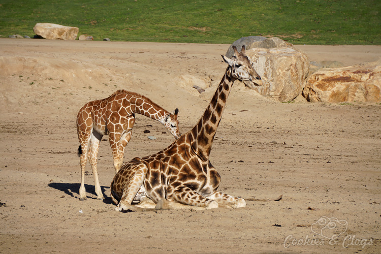 Nature Photography | Our last visit to San Diego Safari Park was amazing. We were able to capture some gorgeous and fun photos as the animals were extra active that day. The highlight was our ride on the Africa Tram tour. Giraffe mother and baby