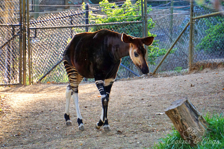 Nature Photography | Our last visit to San Diego Safari Park was amazing. We were able to capture some gorgeous and fun photos as the animals were extra active that day. The highlight was our ride on the Africa Tram tour. Okapi