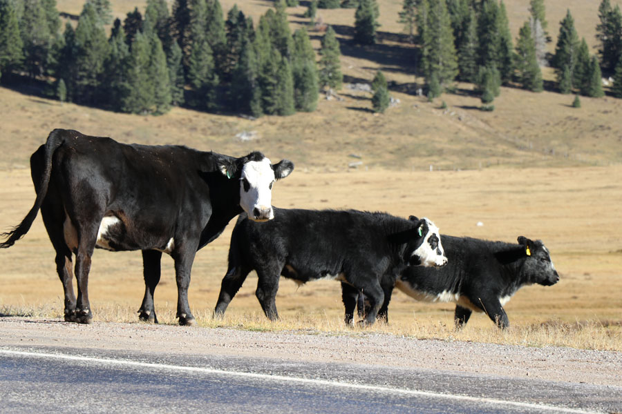 New Mexico to Colorado Family Road Trip in the 2017 Nissan Rogue Sport — Cows crossing the road