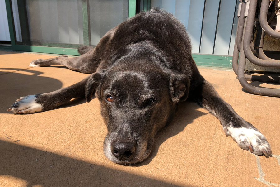 How to Care for a Senior Dog healthcare and wellness - Speckles senior with paws out