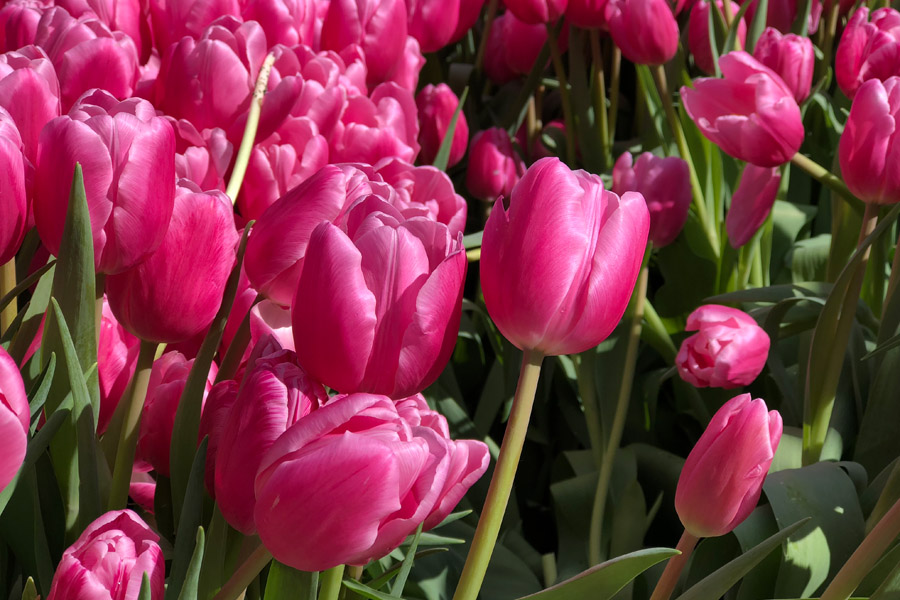 Free tulips at the second annual 2019 American Tulip Day in San Francisco is happening March 2, 2019 at Union Square. Pink tulips