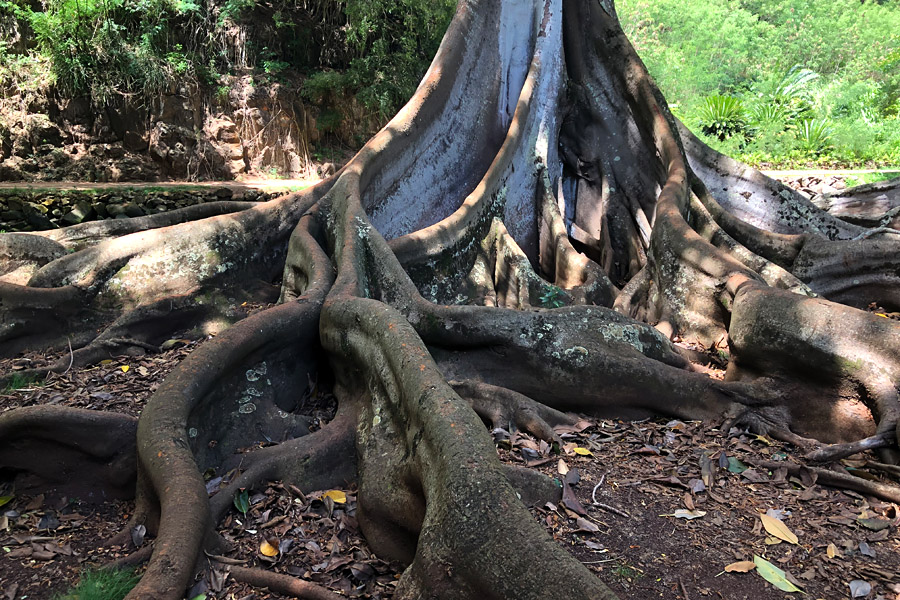 Taking the Allerton Garden Tour in Lawai Valley on the South Shore. 1 of 3 National Tropical Botanical Gardens in Kauai Hawaii. Moreton Bay fig trees Jurassic Park